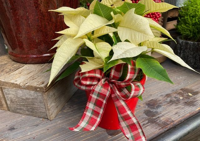 Custom Potted Poinsettia