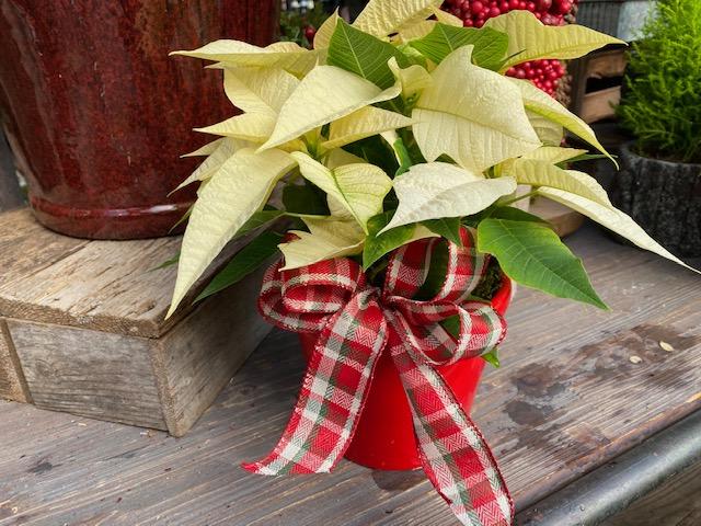 Custom Potted Poinsettia