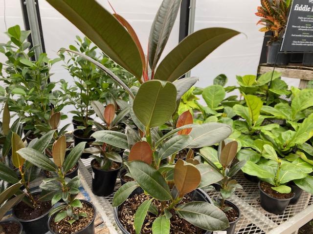 Ficus melanie