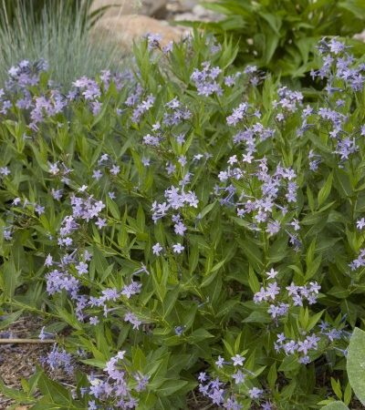 Amsonia Blue Ice #1