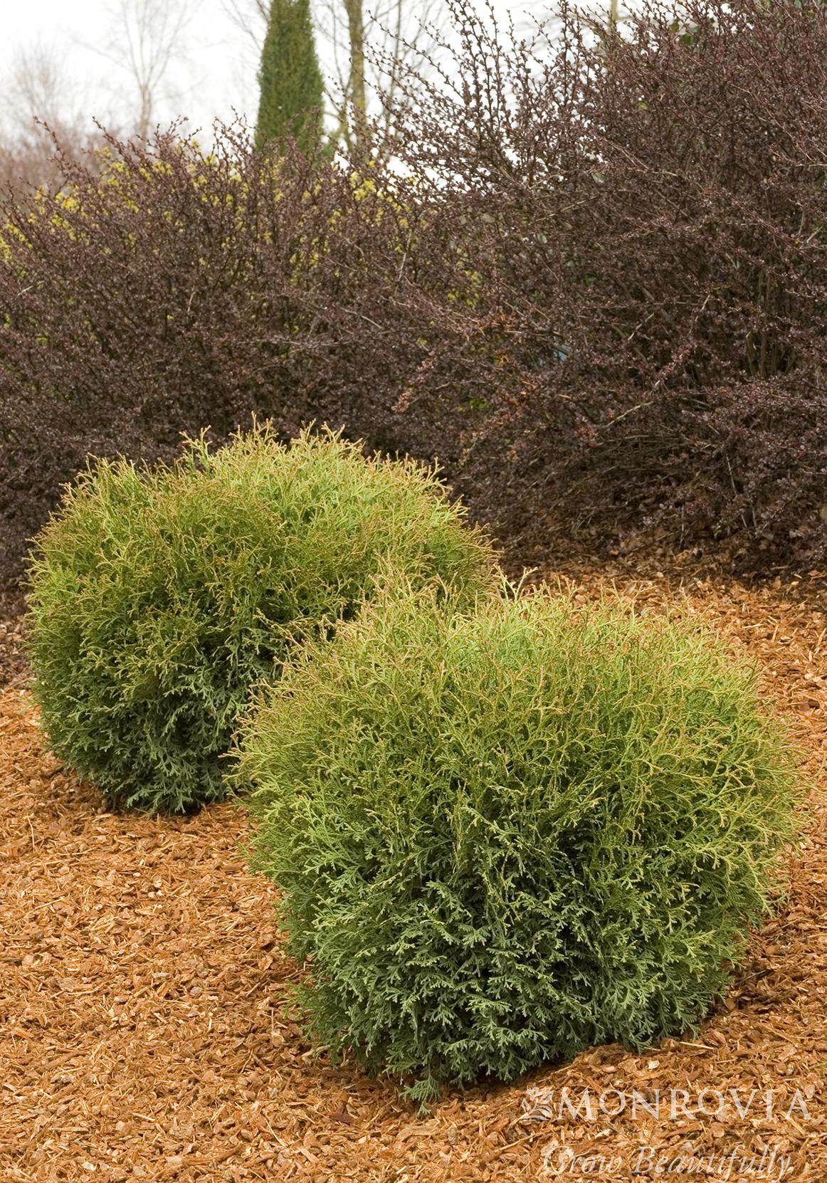 Thuja occ \'Hetz Midget\'#5 | Sunnyside Gardens