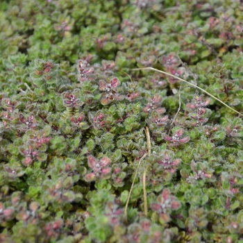 Thymus Wooly 4""